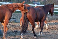 Morso del cavallo fotografie stock