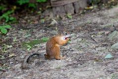 Morso del dado dello scoiattolo Fotografie Stock Libere da Diritti