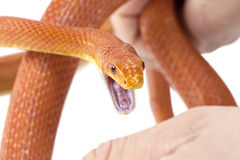 Morso del serpente Immagine Stock