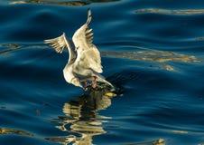 Morso in volo fotografie stock libere da diritti