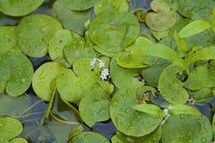 Morsus-ranae del Hydrocharis de la planta acuática Fotografía de archivo