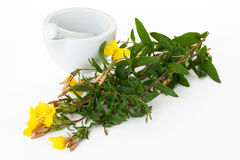 Mortar ans pestle with evening primrose Royalty Free Stock Photo