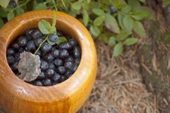 Mortar with blueberries in wood. Fresh blueberries in a wooden mortar Stock Images