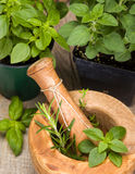 Mortar and Pestle with Herbs. Mortar and pestle with fresh herb plants in the background. Herbs to be ground include basil, rosemary and thyme royalty free stock image