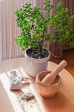 Mortar and pestle, myrtle. Stock Image