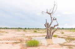 Morte asciutta dell'albero. Fotografia Stock Libera da Diritti