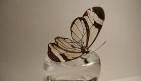 morte da borboleta Imagens de Stock Royalty Free