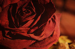 Morte de uma Rosa Foto de Stock