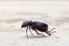 A morte do besouro que estabelece no concreto, gazella de Onthophagus é uma espécie de besouro do escaravelho, besouro morrido fotografia de stock