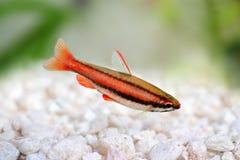 Mortenthaleri a Pencilfish Nannostomus дуги коралла красное Стоковая Фотография