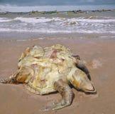 Morti del lepidochelys olivacea verde oliva di ridley sulla spiaggia della v Fotografia Stock