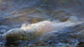 Morti del pesce uccisi da acqua contaminata in lago Sulle onde video d archivio