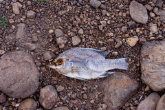 Morto muore il pesce Immagine Stock