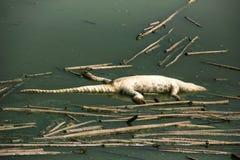 Morts de cadavre de crocodile dans la pollution de l'eau Photo libre de droits