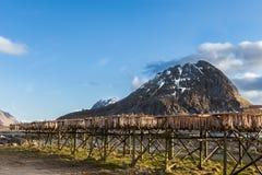 Morue aux supports de séchage, Lofoten Photographie stock libre de droits