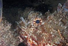 Morue rouge de roche (poissons de scorpion) images stock
