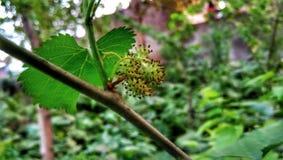 Morus alba, known as white mulberry royalty free stock photos