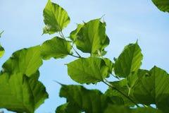 Morus alba tree Stock Photos