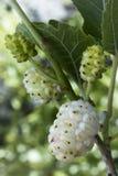 Morus del gelso bianco alba Frutta Fotografia Stock