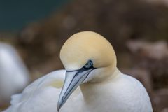 Morus, gannets πορτρέτα της ερωτοτροπίας ζευγών, Σκωτία, άνοιξη Στοκ Φωτογραφία