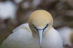 Morus, gannets πορτρέτα της ερωτοτροπίας ζευγών, Σκωτία, άνοιξη Στοκ φωτογραφία με δικαίωμα ελεύθερης χρήσης