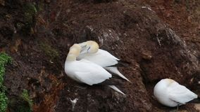 Morus, gannets portraits of couples courtship, scotland, spring. Morus, gannets portraits and close ups of couples courtship, scotland, spring stock video footage