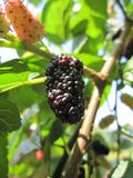 Mulberry Royalty Free Stock Images