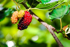 Morus owoc Obraz Stock