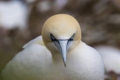 Morus, retratos do corte dos pares, scotland dos albatrozes, mola imagem de stock royalty free
