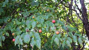 Morus tree with fruits at Halla National Park in Jeju, Korea.  stock footage