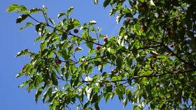 Morus tree with fruits at Hallim Park in Jeju, Korea.  stock video