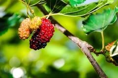 Morusfrucht Stockbild