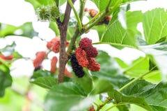 Morwa na drzewie Zdjęcie Royalty Free