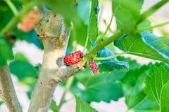 Morwowa owoc Obrazy Royalty Free