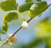 Morwowe jagody na gałąź drzewo Obrazy Stock