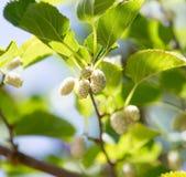 Morwowe jagody na gałąź drzewo Fotografia Stock