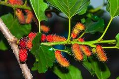 Morwowe owoc na drzewie Zdjęcia Royalty Free
