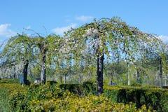 Morwowi drzewa w ogródzie botanicznym Zdjęcia Stock