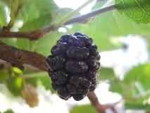 Morwowy czerń na drzewie zdjęcia royalty free