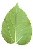 Morwowy liść odizolowywający na bielu Fotografia Royalty Free