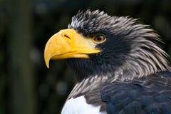 orła morza stellers Zdjęcie Royalty Free