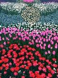 Morze †‹â€ ‹tulipany zdjęcie stock