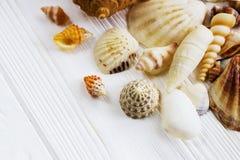 Morze łuska kolekcję na białym drewnianym tle Obraz Stock