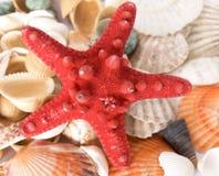 morze łuska rozgwiazdy fotografia stock