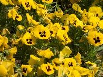 Morze żółci kwiaty obraz royalty free