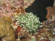 Morze anemones1 obrazy royalty free