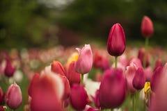 Morze czerwoni tulipany z zamazanym tłem zdjęcie royalty free