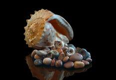 Morze kamienie, skorupa w odbiciu w studiu Na czarnym odosobnionym tle fotografia stock