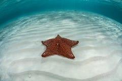 Morze Karaibskie gwiazda 1 Zdjęcia Stock