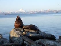 morze lwa Zdjęcie Stock